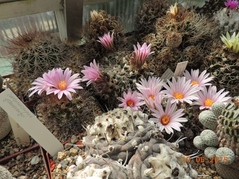 Cacti and Sukkulent in Köln, every day new flowers in the greenhouse Part 123 Bild_171