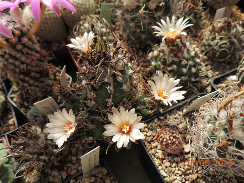 Cacti and Sukkulent in Köln, every day new flowers in the greenhouse Part 123 Bild_172