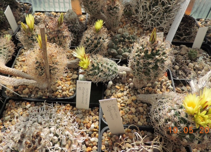 Cacti and Sukkulent in Köln, every day new flowers in the greenhouse Part 123 Bild_173