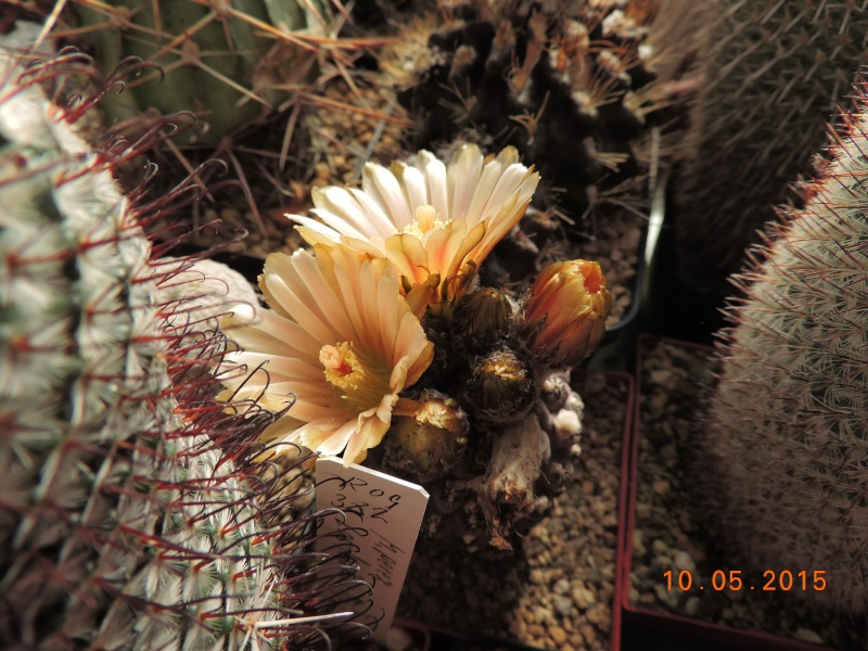Cacti and Sukkulent in Köln, every day new flowers in the greenhouse Part 123 Bild_174