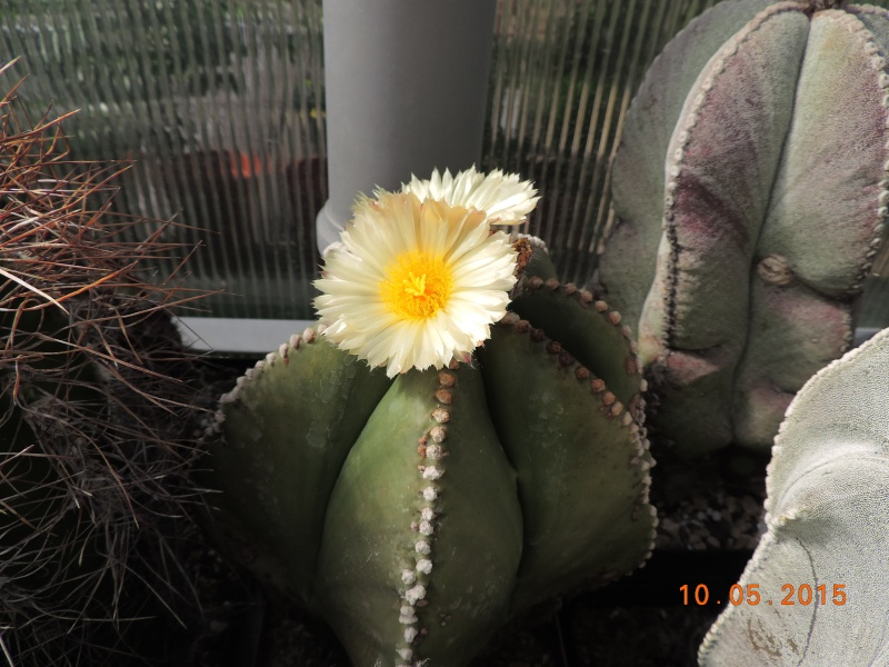 Cacti and Sukkulent in Köln, every day new flowers in the greenhouse Part 123 Bild_175