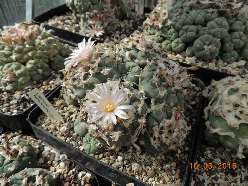 Cacti and Sukkulent in Köln, every day new flowers in the greenhouse Part 123 Bild_181