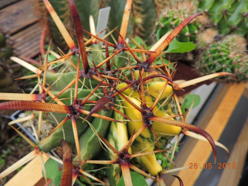 Cacti and Sukkulent in Köln, every day new flowers in the greenhouse Part 123 Bild_186