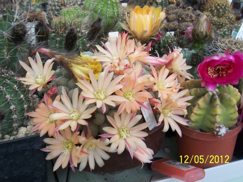 Cacti and Sukkulent in Köln, every day new flowers in the greenhouse Part 123 Bild_223