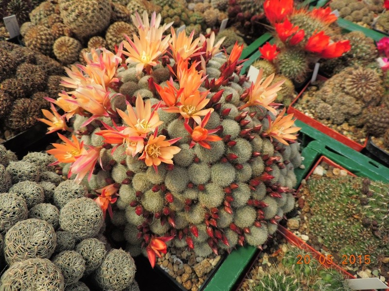 Cacti and Sukkulent in Köln, every day new flowers in the greenhouse Part 123 Bild_225
