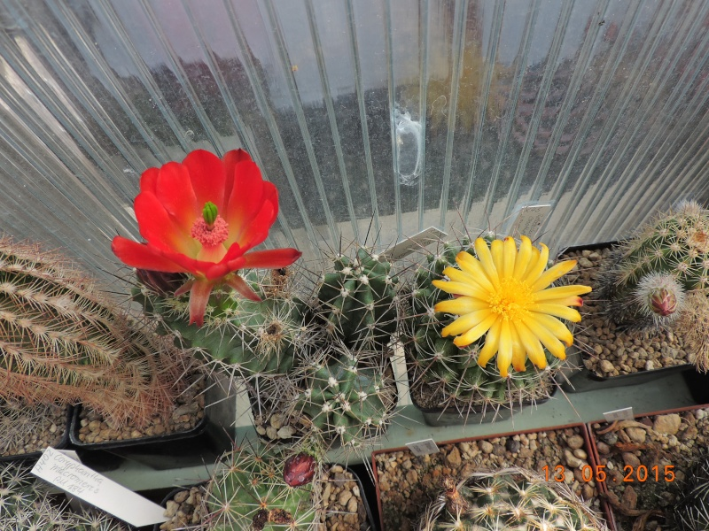 Cacti and Sukkulent in Köln, every day new flowers in the greenhouse Part 123 Bild_232