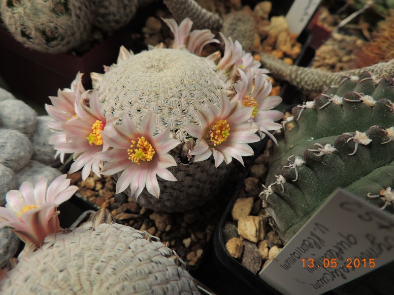 Cacti and Sukkulent in Köln, every day new flowers in the greenhouse Part 123 Bild_233