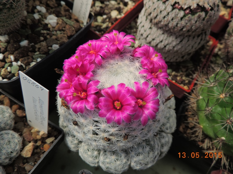 Cacti and Sukkulent in Köln, every day new flowers in the greenhouse Part 123 Bild_234