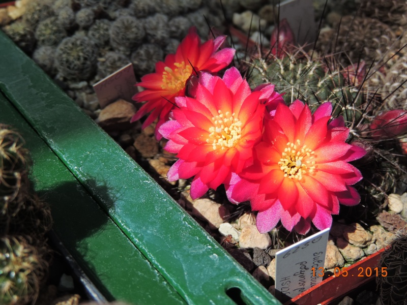 Cacti and Sukkulent in Köln, every day new flowers in the greenhouse Part 123 Bild_237