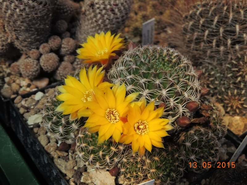 Cacti and Sukkulent in Köln, every day new flowers in the greenhouse Part 123 Bild_238