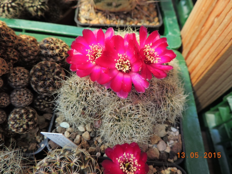 Cacti and Sukkulent in Köln, every day new flowers in the greenhouse Part 123 Bild_241
