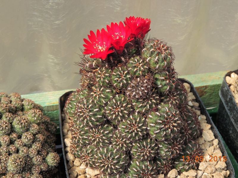 Cacti and Sukkulent in Köln, every day new flowers in the greenhouse Part 123 Bild_242