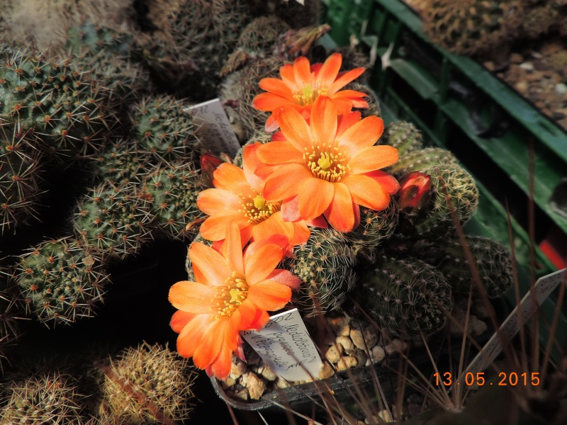 Cacti and Sukkulent in Köln, every day new flowers in the greenhouse Part 123 Bild_243