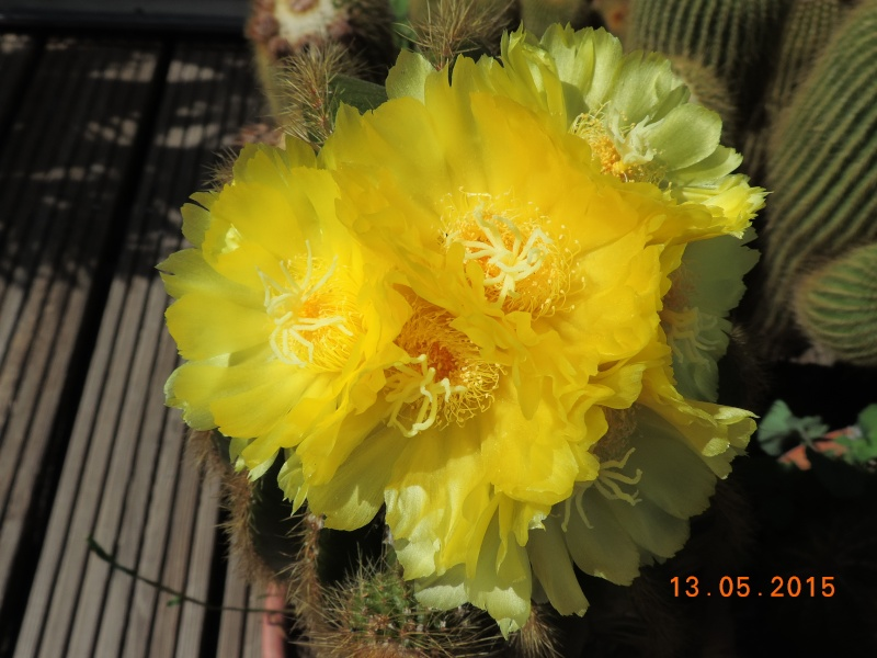 Cacti and Sukkulent in Köln, every day new flowers in the greenhouse Part 123 Bild_245