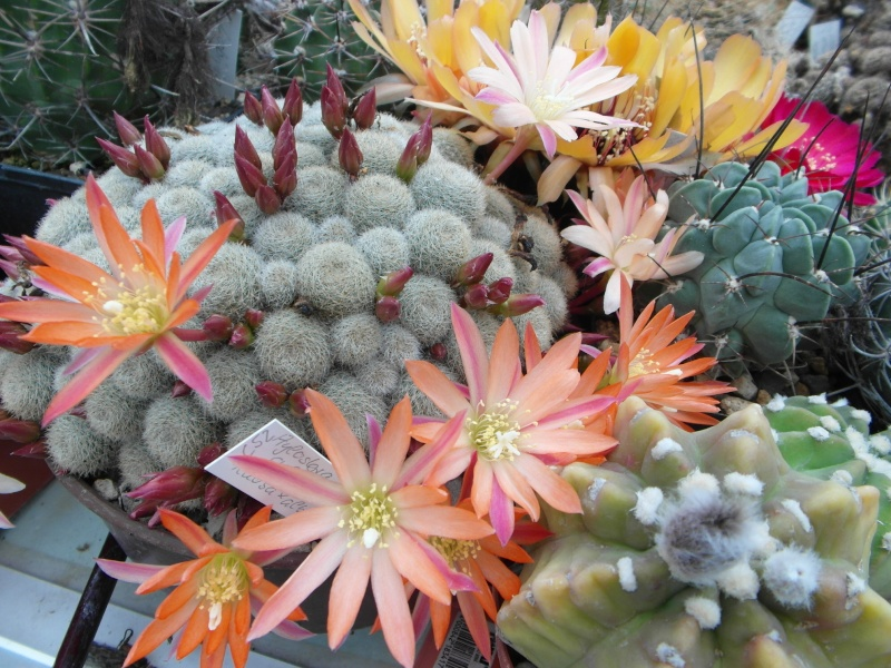 Cacti and Sukkulent in Köln, every day new flowers in the greenhouse Part 123 Bild_413