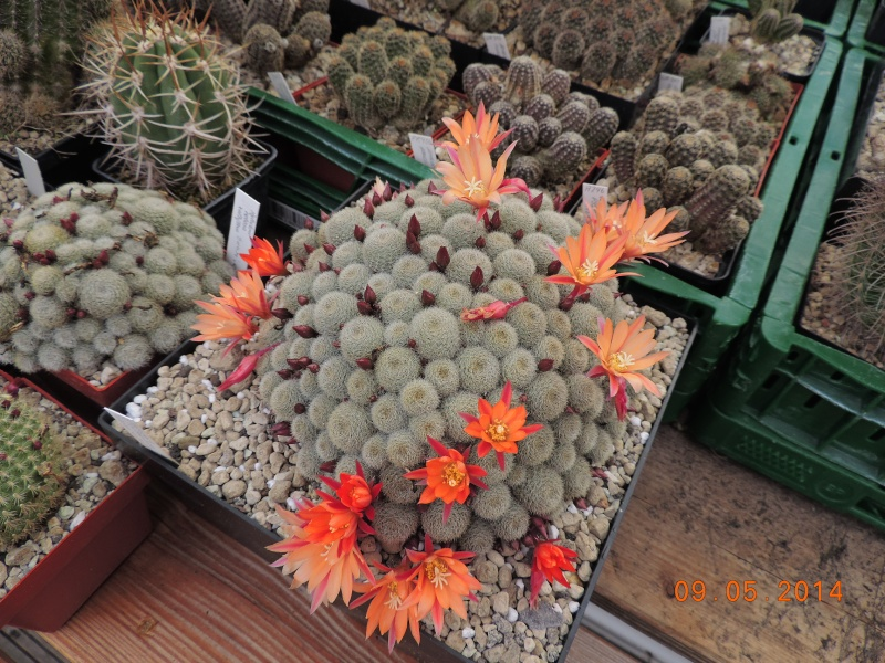 Cacti and Sukkulent in Köln, every day new flowers in the greenhouse Part 123 Bild_710