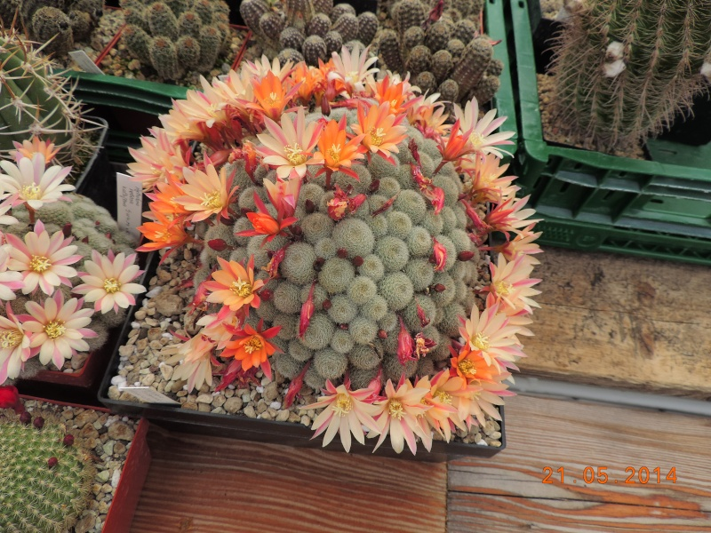 Cacti and Sukkulent in Köln, every day new flowers in the greenhouse Part 123 Bild_711