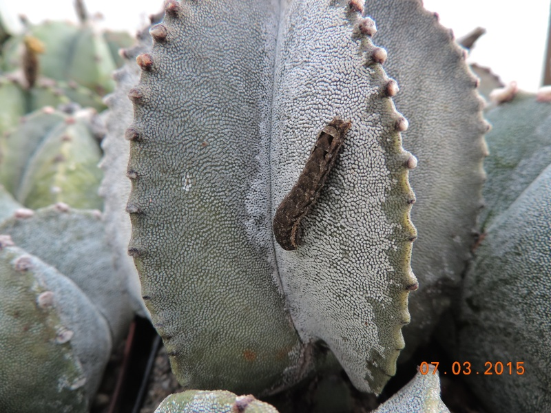 Cacti and Sukkulent in Köln, every day new flowers in the greenhouse Part 120 Bild_816