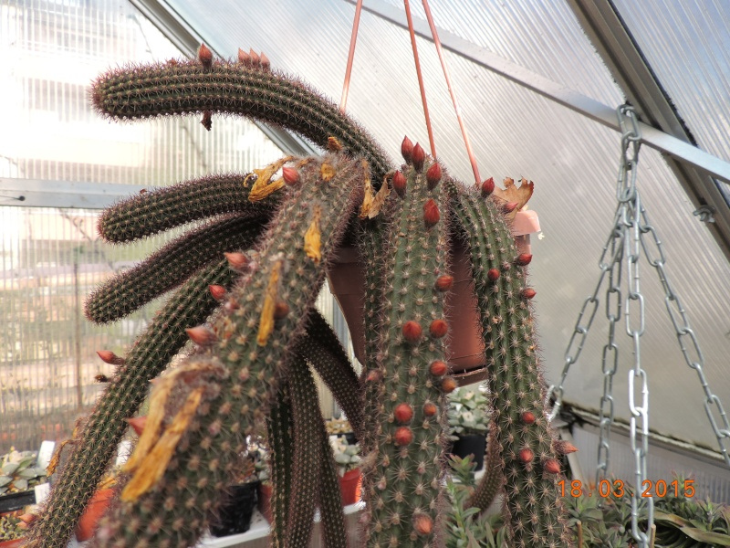Cacti and Sukkulent in Köln, every day new flowers in the greenhouse Part 120 Bild_826