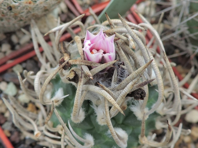 Cacti and Sukkulent in Köln, every day new flowers in the greenhouse Part 120 Bild_859