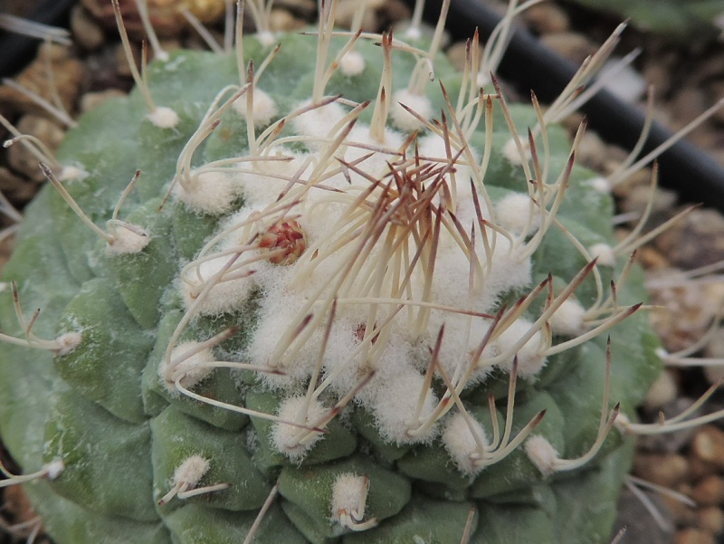 Cacti and Sukkulent in Köln, every day new flowers in the greenhouse Part 120 Bild_860