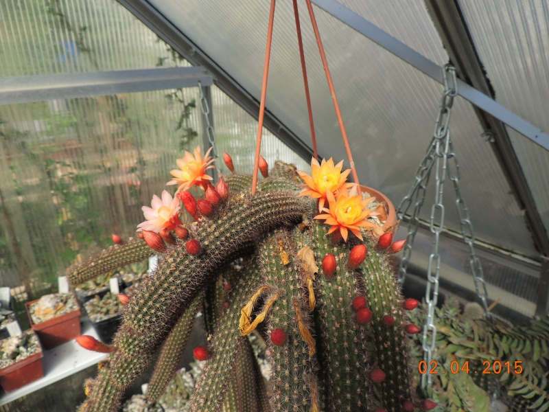 Cacti and Sukkulent in Köln, every day new flowers in the greenhouse Part 121 Bild_875