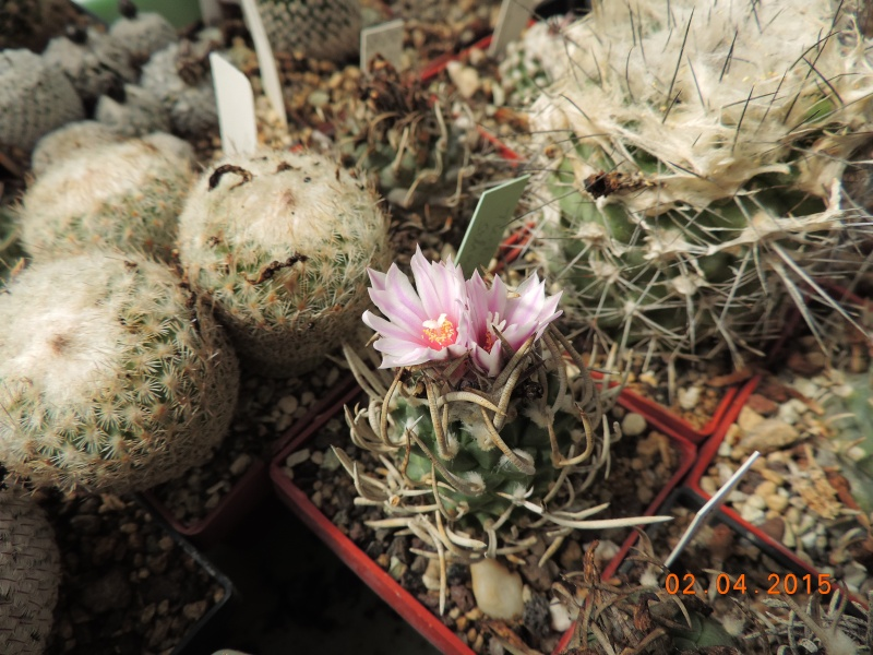 Cacti and Sukkulent in Köln, every day new flowers in the greenhouse Part 121 Bild_876