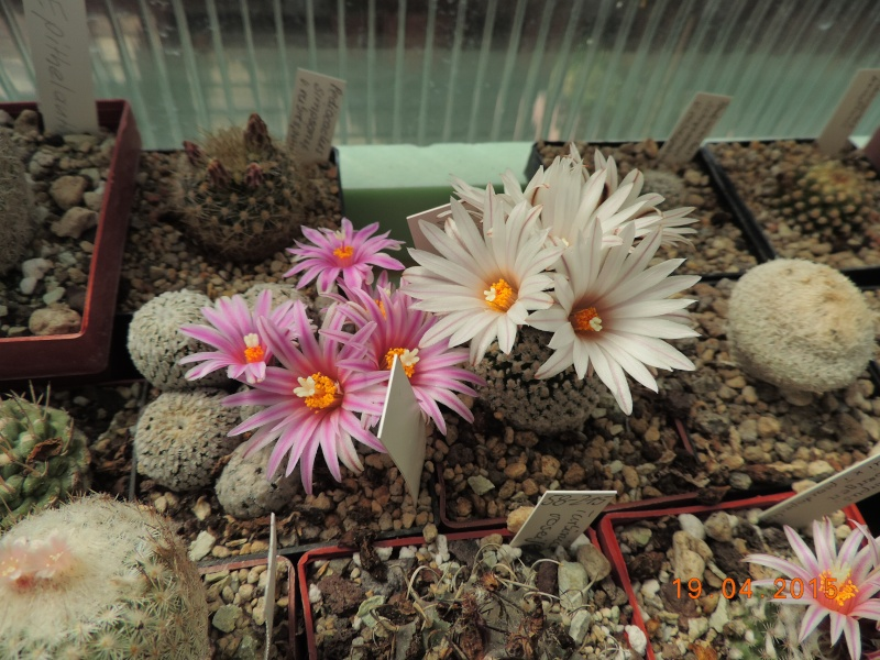 Cacti and Sukkulent in Köln, every day new flowers in the greenhouse Part 121 Bild_913
