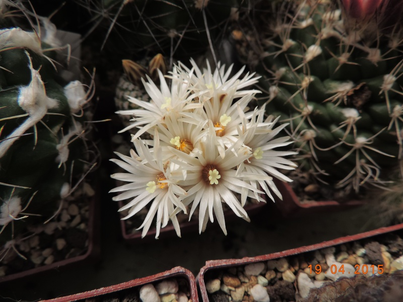 Cacti and Sukkulent in Köln, every day new flowers in the greenhouse Part 121 Bild_914