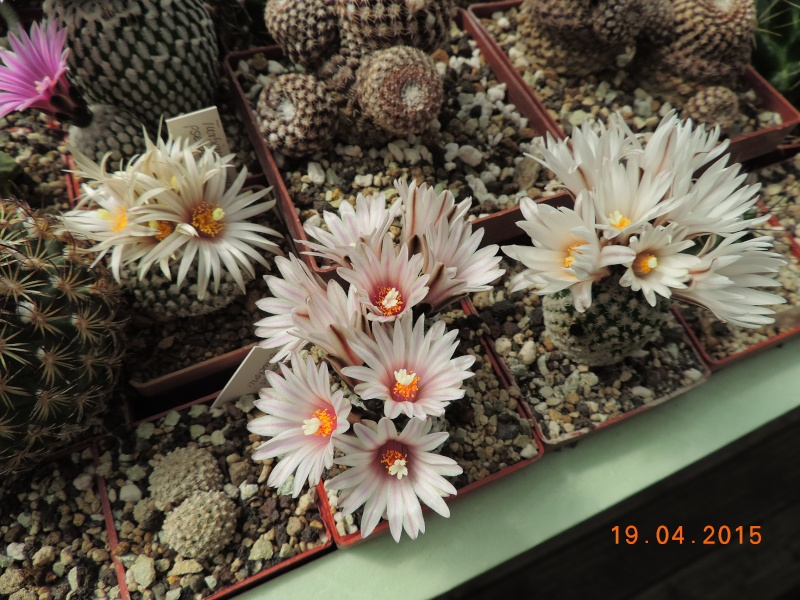 Cacti and Sukkulent in Köln, every day new flowers in the greenhouse Part 121 Bild_915