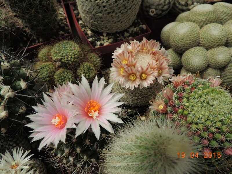 Cacti and Sukkulent in Köln, every day new flowers in the greenhouse Part 121 Bild_923