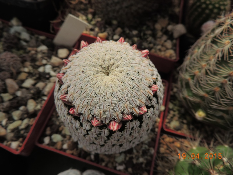 Cacti and Sukkulent in Köln, every day new flowers in the greenhouse Part 121 Bild_924