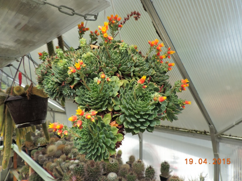 Cacti and Sukkulent in Köln, every day new flowers in the greenhouse Part 121 Bild_930