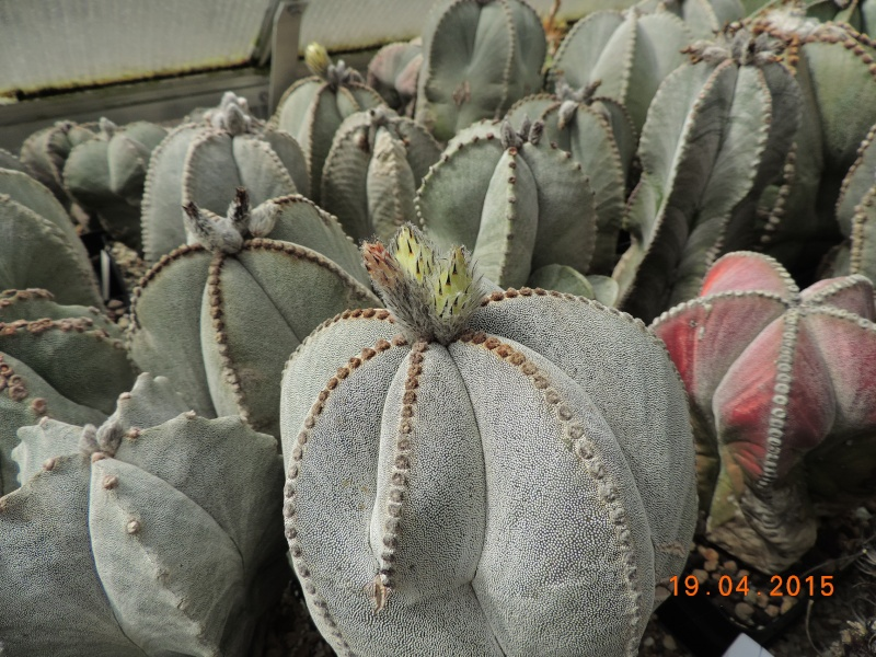 Cacti and Sukkulent in Köln, every day new flowers in the greenhouse Part 121 Bild_931