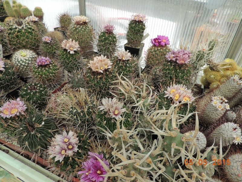 Cacti and Sukkulent in Köln, every day new flowers in the greenhouse Part 122 Bild_933