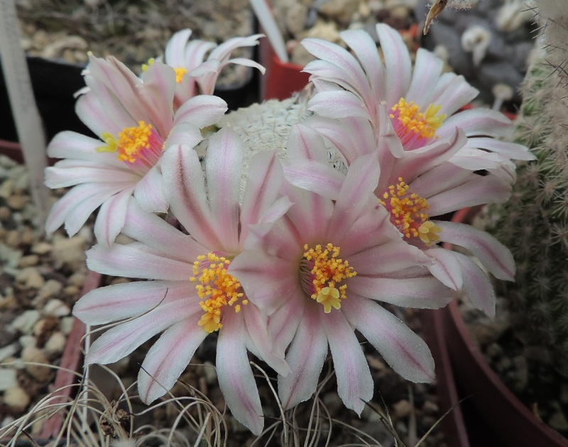 Cacti and Sukkulent in Köln, every day new flowers in the greenhouse Part 122 Bild_936