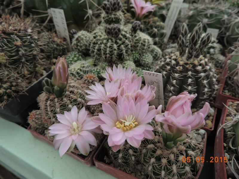 Cacti and Sukkulent in Köln, every day new flowers in the greenhouse Part 122 Bild_950