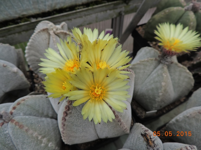 Cacti and Sukkulent in Köln, every day new flowers in the greenhouse Part 122 Bild_951