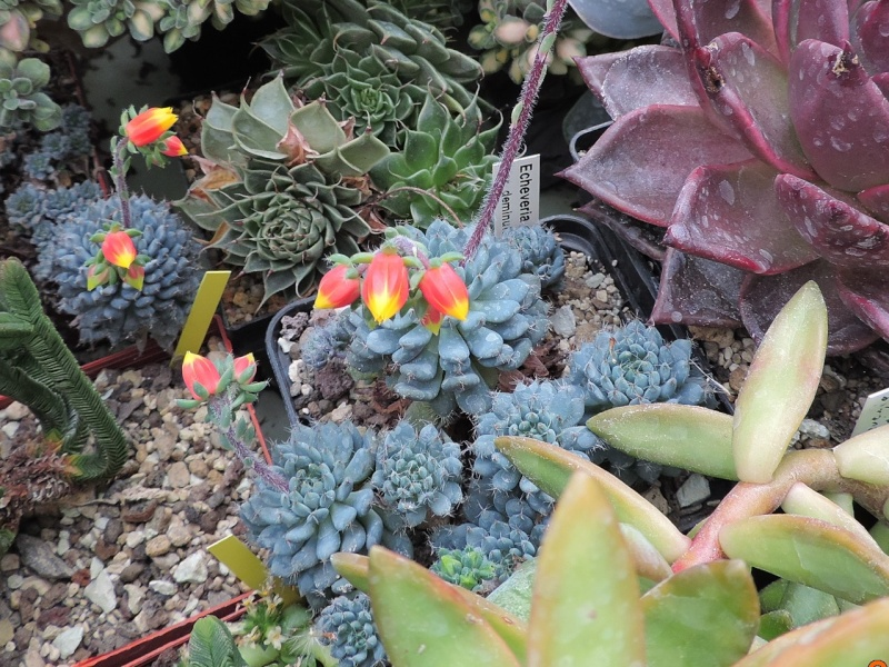 Cacti and Sukkulent in Köln, every day new flowers in the greenhouse Part 122 Bild_955