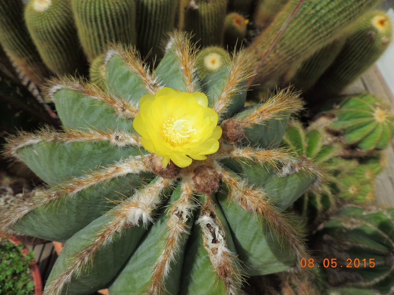 Cacti and Sukkulent in Köln, every day new flowers in the greenhouse Part 122 Bild_960