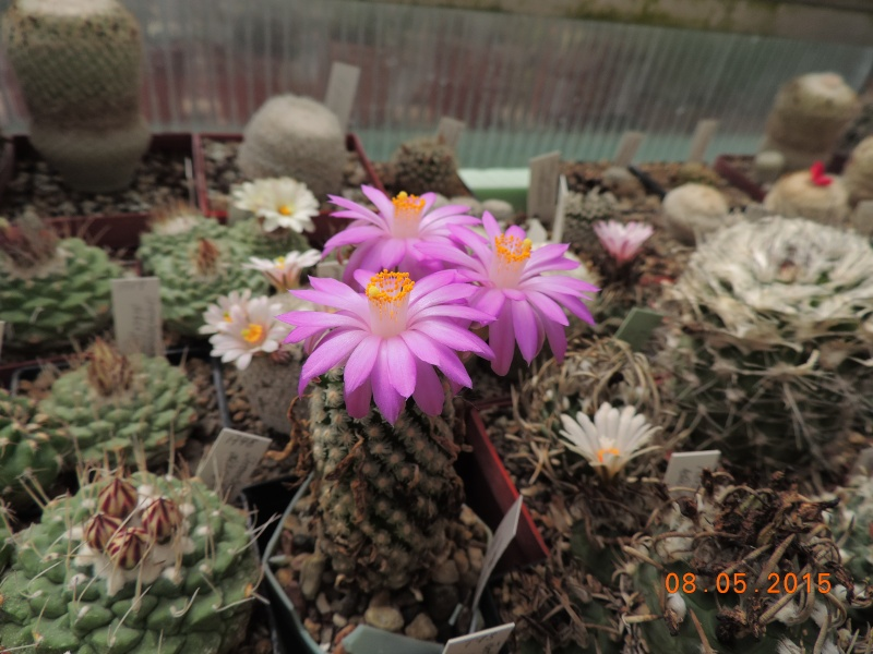Cacti and Sukkulent in Köln, every day new flowers in the greenhouse Part 122 Bild_967