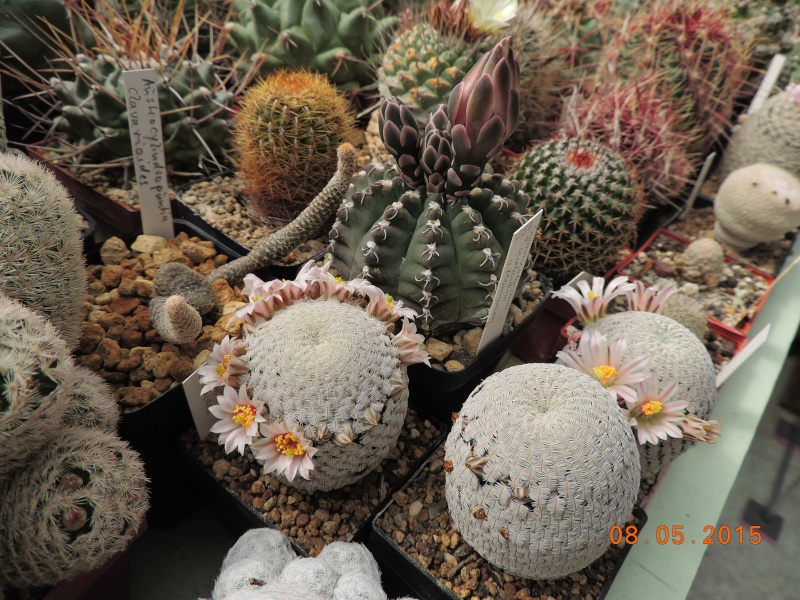 Cacti and Sukkulent in Köln, every day new flowers in the greenhouse Part 122 Bild_969