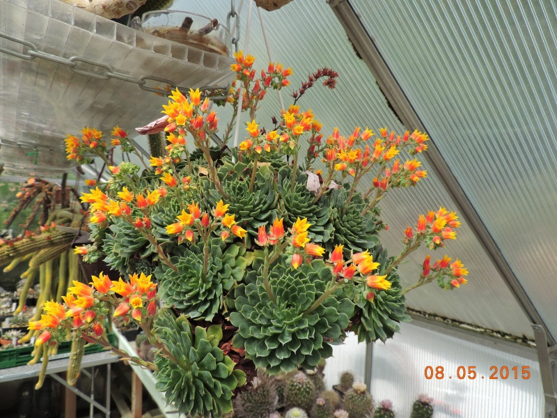 Cacti and Sukkulent in Köln, every day new flowers in the greenhouse Part 122 Bild_988