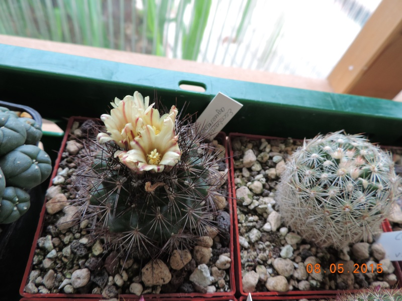 Cacti and Sukkulent in Köln, every day new flowers in the greenhouse Part 122 Bild_990