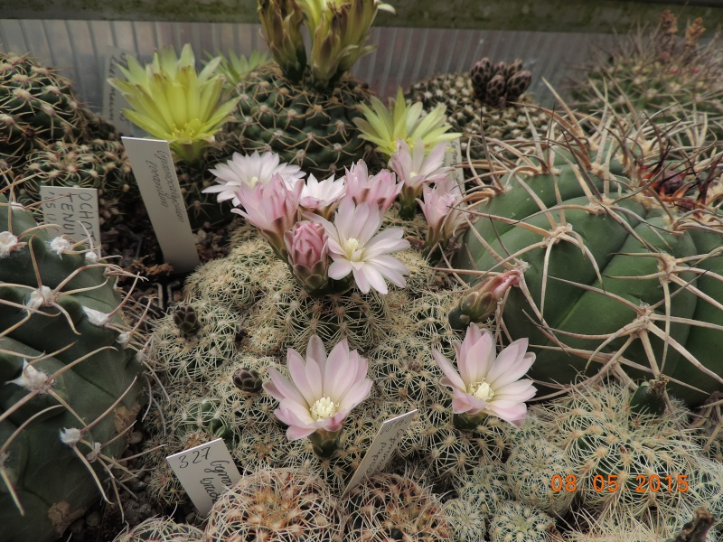 Cacti and Sukkulent in Köln, every day new flowers in the greenhouse Part 122 Bild_994