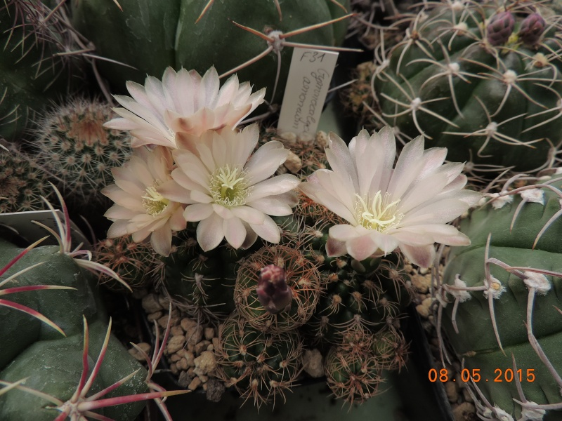 Cacti and Sukkulent in Köln, every day new flowers in the greenhouse Part 122 Bild_995