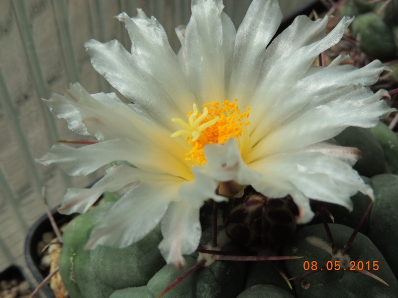 Cacti and Sukkulent in Köln, every day new flowers in the greenhouse Part 122 Bild_999