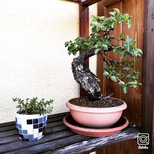 "Prunus mahaleb ""Stelo di giada"". - Pagina 4 Img_0012"