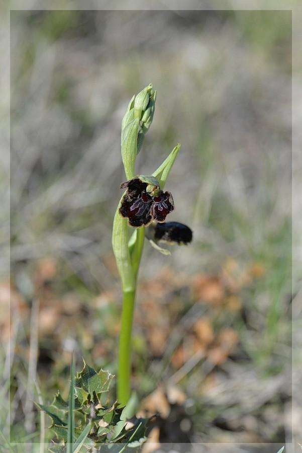 Ophrys passionis à deux labelles 2015-249