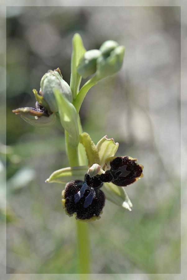 Ophrys passionis à deux labelles 2015-250
